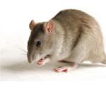 rat_brun_150