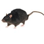 rat_noir_150